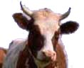 photo of cow